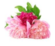 Pfingstrose-Blumengarten Stockfoto