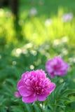 Pfingstrose-Garten Lizenzfreie Stockfotos