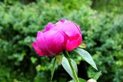 Pfingstrose mit Regen-Tropfen Lizenzfreie Stockfotografie