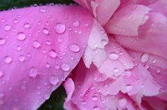 Pfingstrose mit Regen-Tropfen Stockfotografie