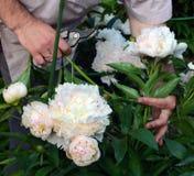 Pfingstrosen, die vom Gärtner abgeschnitten werden lizenzfreie stockfotografie