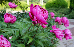 Pfingstrosen in einem Garten Stockfoto
