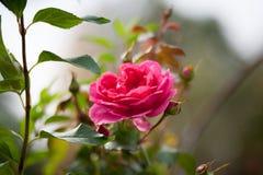 Pfingstrosen-rosafarbenes Rosa-` Pat Austin-`, Strauch Lizenzfreies Stockbild