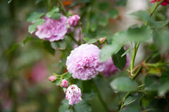 Pfingstrosen-rosafarbenes Rosa-` Pat Austin-`, Strauch Stockfoto