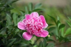 Pfingstrosenblütenblume Stockbild