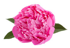Pfingstrosenblume auf Weiß Lizenzfreie Stockbilder