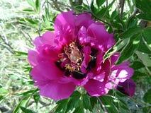 Pfingstrosenblume - Eutopia-Garten - Arad, Rumänien stockfotografie