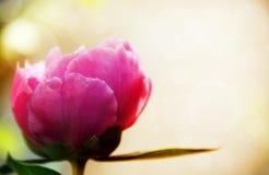 Pfingstrosenblumen Stockfoto