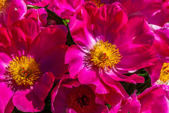 Pfingstrosenblumen Lizenzfreies Stockbild