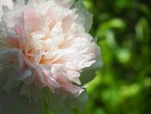 Pfingstrosenblumen Stockfotografie