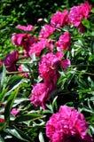Pfingstrosenblumen in einem grünen Garten lizenzfreie stockbilder