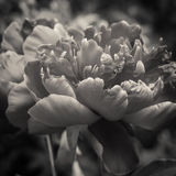 Pfingstrosenblumenblätter schließen oben Lizenzfreie Stockbilder