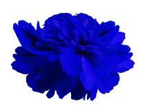 Pfingstrosenblumenblau auf lokalisiertem weißem Hintergrund mit Beschneidungspfad keine Schatten Nahaufnahme Für Auslegung stockfoto