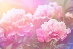Pfingstrosenblumenhintergrund Stockfoto