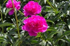Pfingstrosenblumenrosa Stockbild