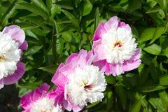 Pfingstrosenblumenrosa Lizenzfreies Stockbild