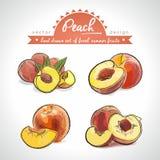 Pfirsich Übergeben Sie gezogene Sammlung ausführliche frische Frucht des Vektors Skizze Getrennt lizenzfreie abbildung