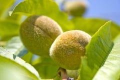 Pfirsich auf Baum Lizenzfreie Stockfotos