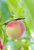 Pfirsich auf dem Baum Stockfoto