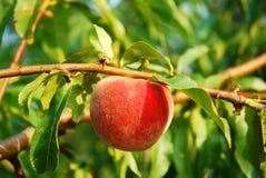 Pfirsich auf dem Zweig Stockfoto