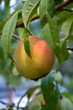 Pfirsich auf einem Pfirsich-Baum Lizenzfreie Stockfotografie