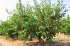 Pfirsich-Bäume Stockfotos