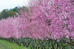 Pfirsich-Bäume in der Blüte Stockbild