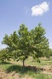 Pfirsich-Baum Lizenzfreie Stockbilder
