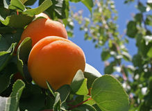 Pfirsich-Baum stockfoto