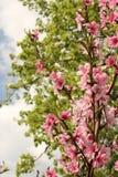 Pfirsich-Baum-Blühen Stockbild