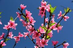 Pfirsich-Baum-Blühen Stockfoto