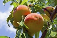 Pfirsich-Baum-Nahaufnahme Lizenzfreie Stockfotografie