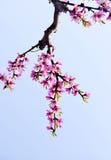 Pfirsich blüht Blüte lizenzfreies stockbild