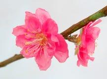 Pfirsich-Blüte Lizenzfreies Stockfoto