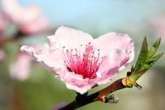 Pfirsich-Blüte Stockbild
