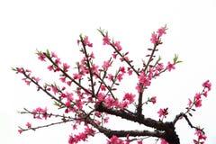 Pfirsich-Blüte Lizenzfreie Stockbilder