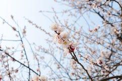 Pfirsich-Blüte stockfotografie