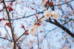 Pfirsich-Blüte stockfotos