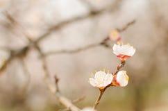 Pfirsich-Blüte lizenzfreie stockfotografie