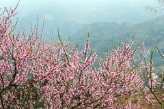 Pfirsich-Blüte im moutainous Bereich Lizenzfreie Stockbilder