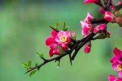 Pfirsich-Blüte im moutainous Bereich Lizenzfreie Stockfotos