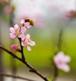 Pfirsich-Blüte u. Biene Stockfotografie