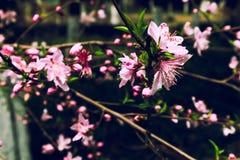 Pfirsich Blüteamygdalus persica L Lizenzfreies Stockbild