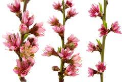 Pfirsich-Blüten Stockfotografie