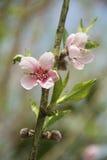 Pfirsich-Blüten Lizenzfreie Stockfotos