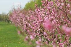 Pfirsich-Blüten-Bäume stockfotos
