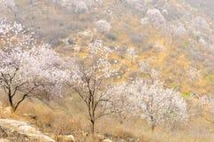Pfirsich-Blütenabhang lizenzfreies stockbild