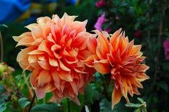 Pfirsich-Blume stockfotos