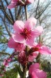 Pfirsich-Blumen Lizenzfreie Stockbilder