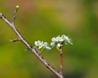 Pfirsich-Blumen Stockbild